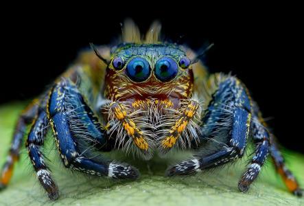 蜘蛛,跳线,毛茸茸的,眼睛,看