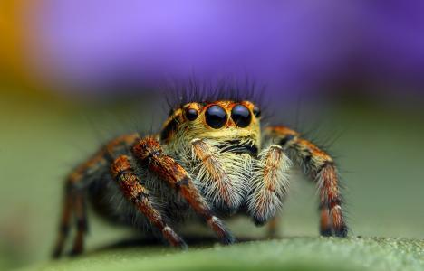 背景,跳线,蜘蛛,宏
