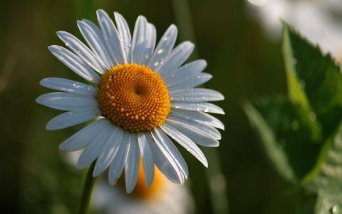 花卉,花,雏菊,黄色,白,绿色,壁纸,宽屏,宽屏,宽屏,高清壁纸,背景,壁纸,宽屏,全屏,宽屏