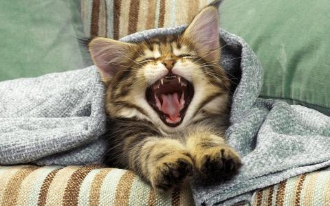 猫,甜蜜地打呵欠