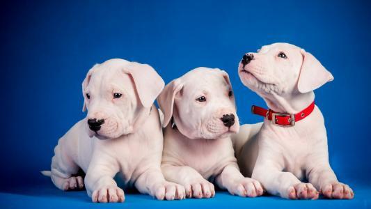 狗,小狗,背景