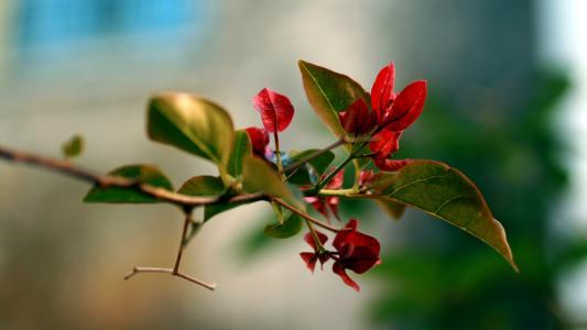 开花,树枝,红色的树枝