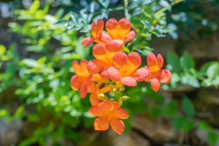 秋季鲜艳美丽的凌霄花