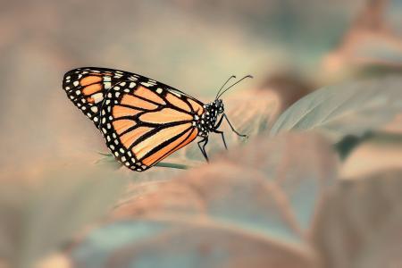 宏,叶,蝴蝶