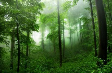 密集,森林,树木,美女,绿色,雾,夏天