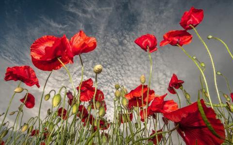 领域,颜色,鲜花,天空,红色,树木