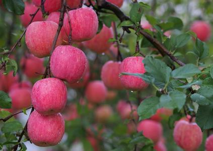 滴,苹果,露水,花园