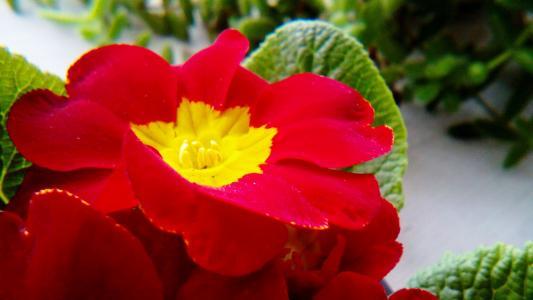 花,紫罗兰色,红色