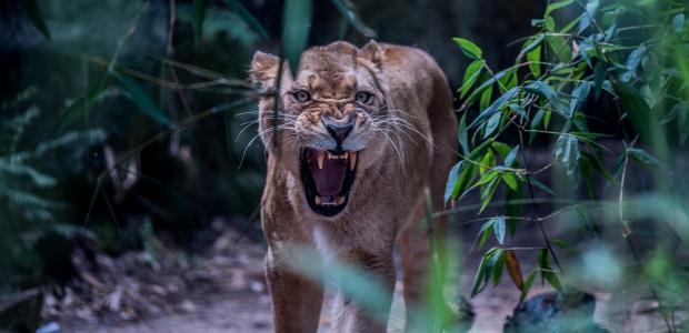 捕食者,母狮,性质,愤怒,美丽,猫,狮子