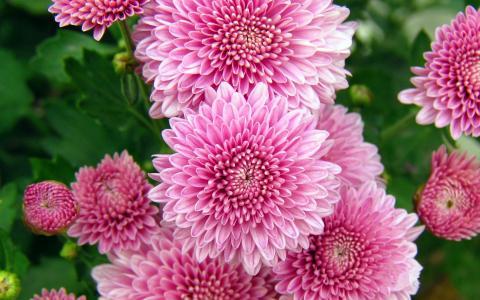 菊花,鲜花