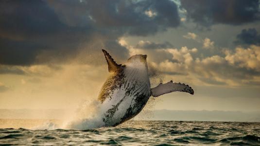 座头鲸,鲸鱼,跳,海洋,美丽