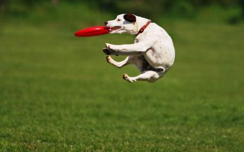 狗,脸,盘子,跳,训练