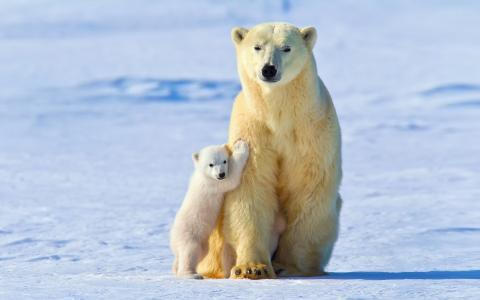 光,北极熊,雪,白熊,婴儿,冬天