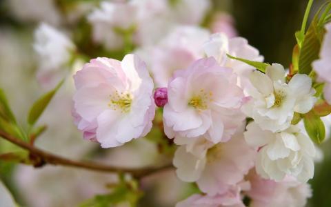 花瓣,鲜花,科,樱花,宏,粉红色