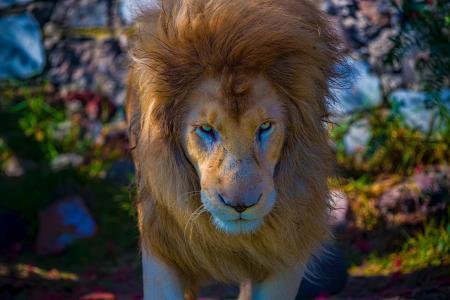 狮子,兽王,枪口,鬃毛,看