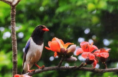 热带,自然,世界鸟类,鸟,赤腹鹊,科,棉花,花,雨
