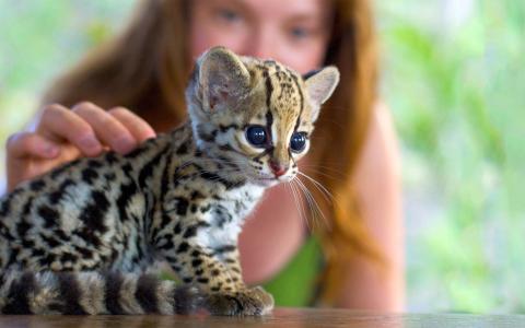 女孩,猎豹,小猫