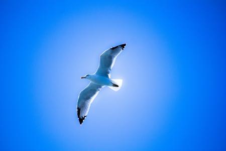 鸟,海鸥,天空,飞行,翅膀