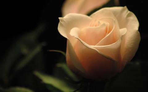 玫瑰,黑暗