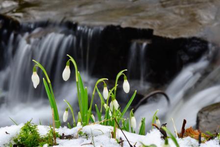 雪花莲,雪,春天,水,石头,河,流,瀑布,照片