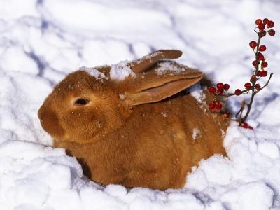 雪,野兔,兔子,冬天,红色,浆果