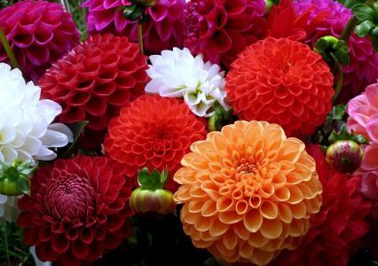 橙色,大丽花,多彩多姿,红色,白色,鲜花