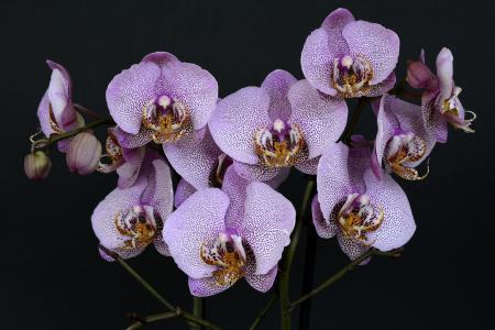 兰花,鲜花,开花,紫色,紫色,叶子,性质,异国情调,黑色背景