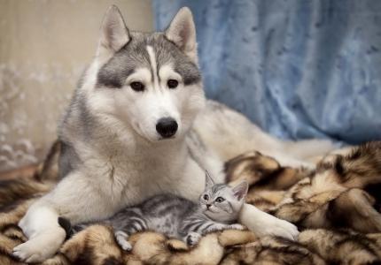 狗,猫,毛皮,沙哑