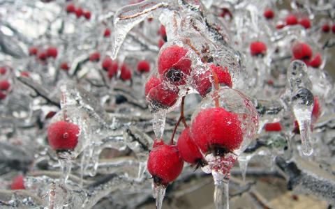 玫瑰果,白霜,冰