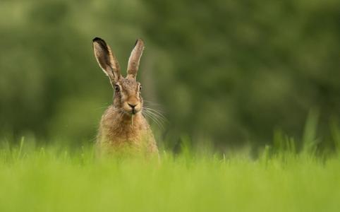 野兔,草,绿色,背景,夏天,美容,小动物
