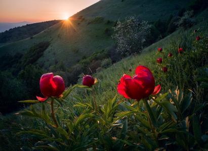 性质,保加利亚,丘陵,坡,鲜花,牡丹,太阳,光线