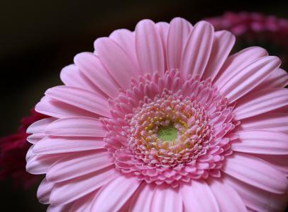 花,花瓣,粉红色,花,非洲菊,粉红色,花瓣,非洲菊