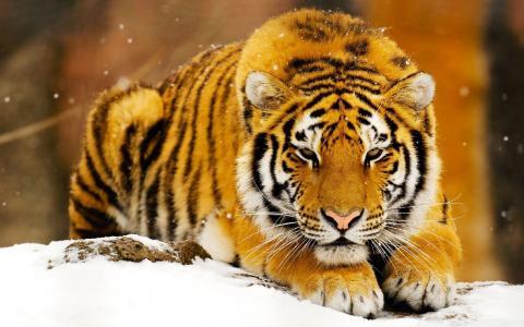 雪,老虎,捕食者,猫,谎言,枪口,看