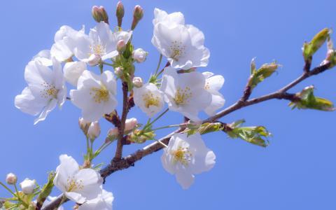 白,樱花,鲜花,樱桃,开花,雪白