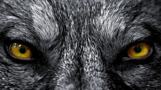 眼睛,狼,捕食者,灰色的背景