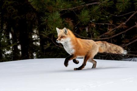 彼得达西,自然,冬天,雪,动物,狐狸,狐狸,树,树枝,多汁