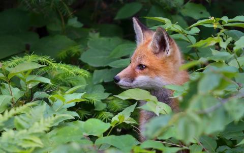 狐狸,红色,灌木,叶子