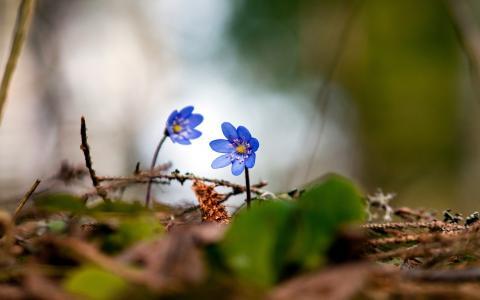 春天,紫罗兰,森林