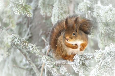松鼠,树,冷杉,分支机构,冬季,雪,照片,Jorn Allan Pedersen