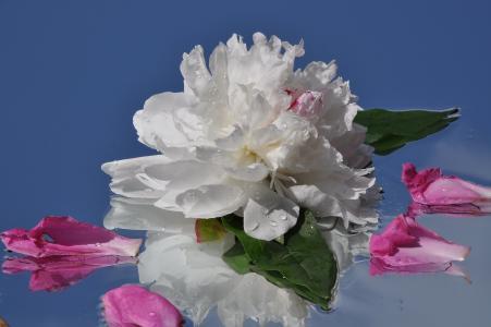 宏观,叶子,牡丹,反射,花卉,滴眼液