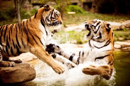 壁纸,水,老虎,性质,动物