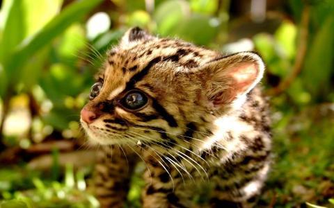 特写镜头,猎豹,小猫,焦点