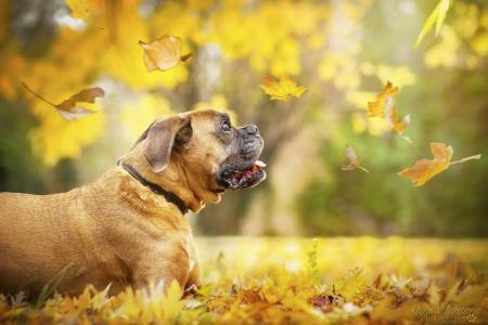 动物,狗,狗,拳击手,配置文件,性质,秋,叶