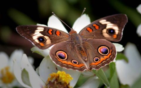 昆虫,蝴蝶,翅膀,宏