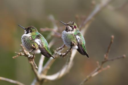鸟类,世界鸟类,蜂鸟,蒸汽,树枝