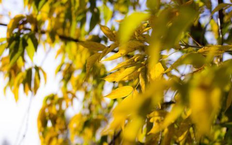 叶子,秋天,树,黄色