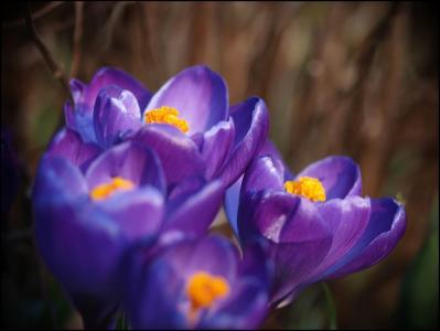 宏,紫罗兰色,花瓣,丁香,番红花
