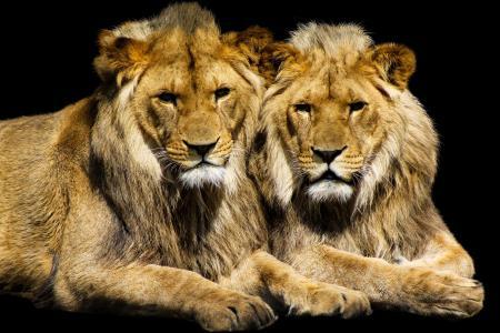 狮子,视图,背景