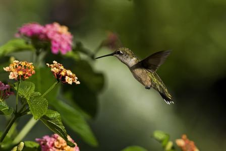 蜂鸟,鸟,宏,花,绿党,阳光灿烂