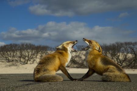 狐狸,两个,红色